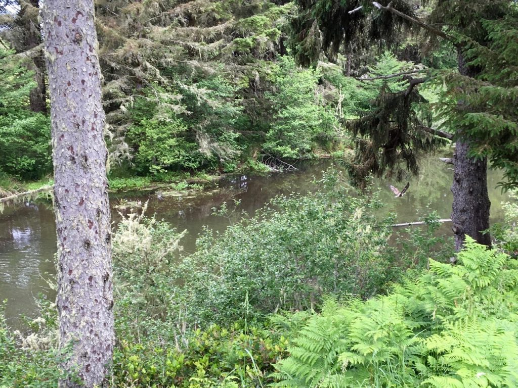 Eagle chasing ducks (already out of shot) down the creek